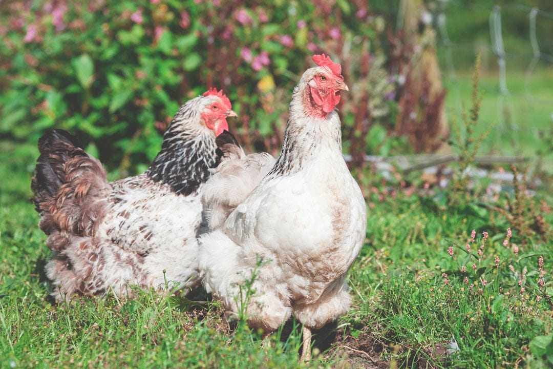 Backyard Chicken Care 101: Raising Happy, Healthy Chickens story.